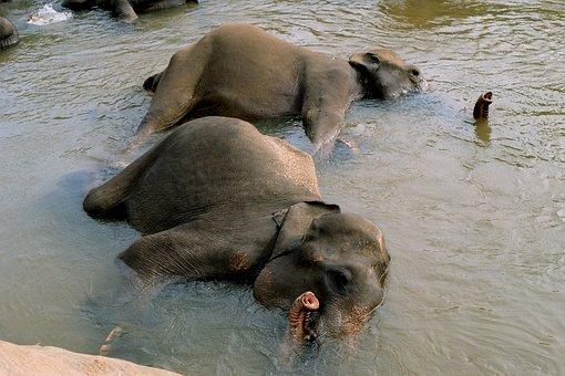 Elephant, Bathing Elephants, Cooling