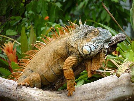 Lizard, Lazy, Reptile, Iguana, Animal, Scale, Dragon