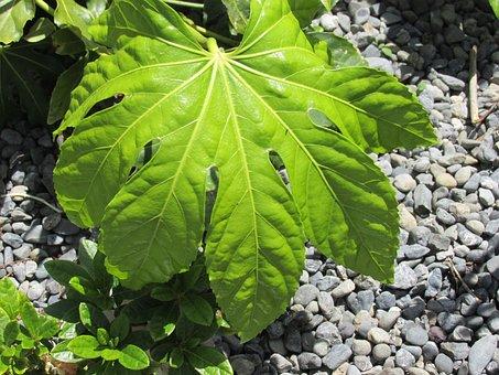 Plants, Garden, Nature, Leaf, Fatsia Japonica