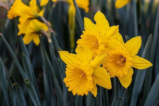 Narcissus, Daffodil, Bulbous Perennial, Yellow, Flower