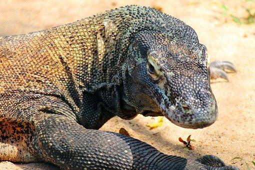 Comodo Dragon, Lizard, Reptile, Nature, Creature