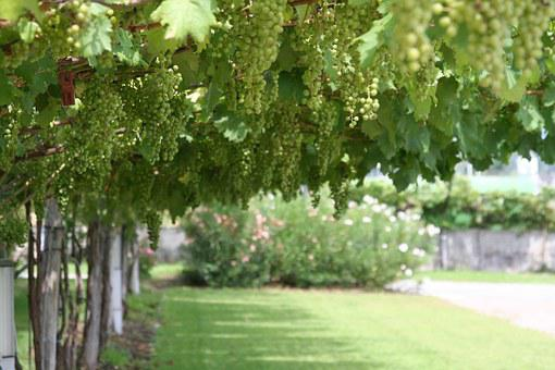Grapes, Italy, Marzadro, Grappa, Trentino, Wine, Nature