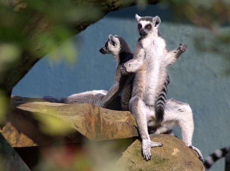 Ring Tailed Lemur, Monkey, Zoo, Animal World, Sit