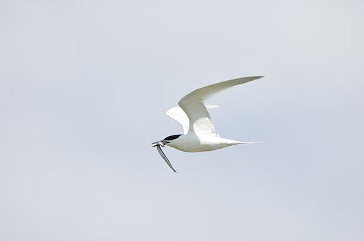 Tern, Bird, Holland, Seagull, Fish, Capture, Flight