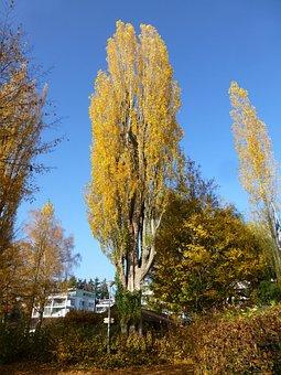 Poplar, Autumn, überlingen East Bath, Yellow, Tree