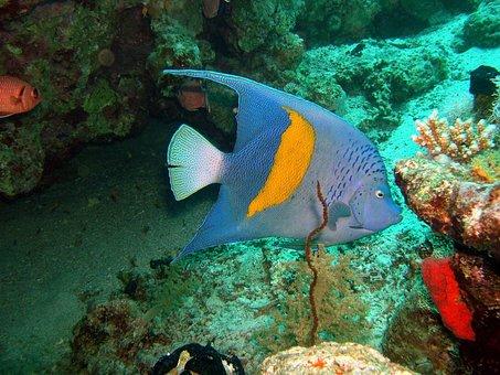 Arabian Angelfish, Fish, Ocean, Coral, Angelfish