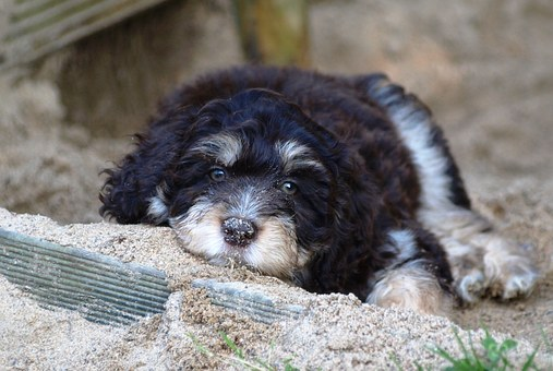 Puppy, Aussiedoodle, Young Dog, Dog, Small, Cute, Young