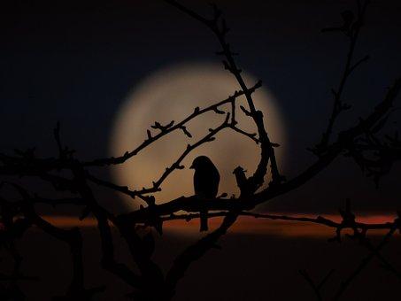 Bird, Evening, Moon Shadow, Branches, Against Moon, Sky
