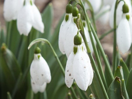 Snowdrops, Flowers, Spring, Bloom, Signs Of Spring