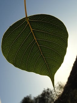 Bodhi Leaf, Green Leaf, Leaf, Sacred Fig Leaf