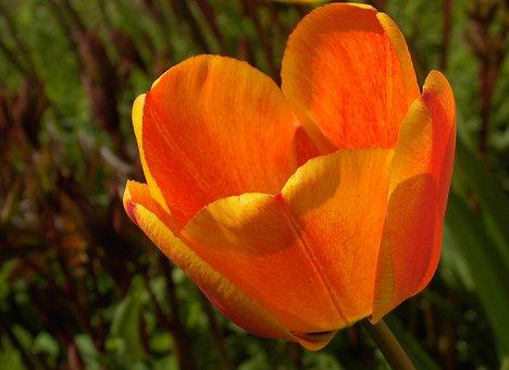 Tulip, Tulipa, Lily, Spring, Breeding Tulip