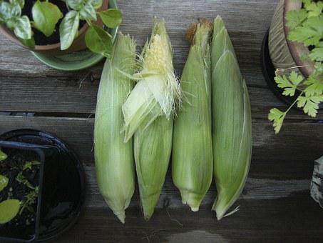 Corn, Vegetable, Garden, Autumn, Harvest, Fall, Food