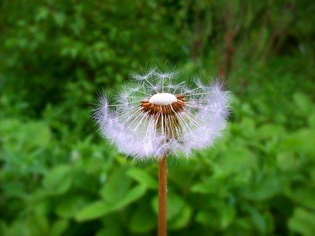 Dandelion, Flower, Spring, Sead Head, Plant, Field