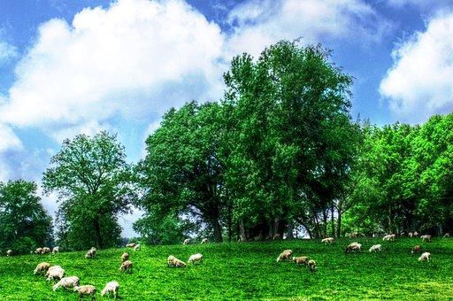 Sheep, Field, Meddow, Grazing, Farm, Animal