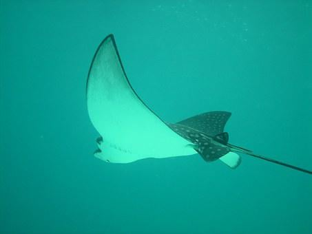 Eagle Rays, Rays, Sting Rays, Sea, Diving, Fish, Float