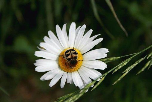 Marguerite, Flower, Brush Beetle