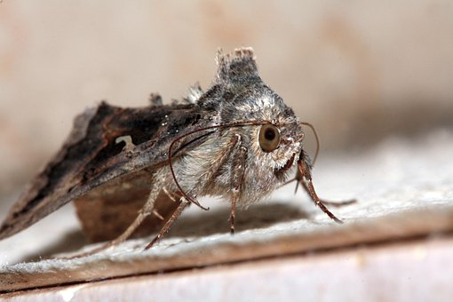 Motte, Eyes, Wing, Probe, Insect, Macro, Furry, Hairy