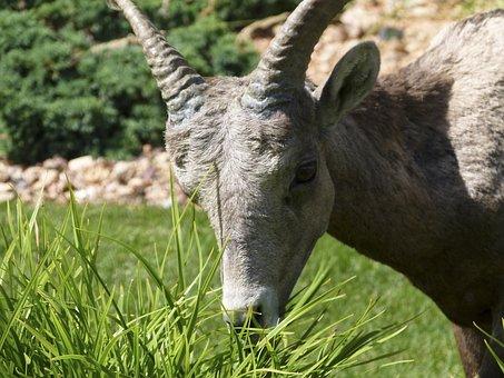 Mountain Sheep, Grazing, Head, Horn, Garden, Animal