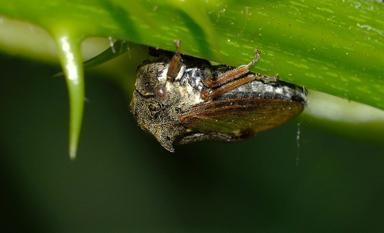 Insects, True Bugs, Cicalide