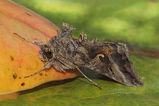 Animal, Motte, Butterfly, Blatta, Insect, Leaf, Garden