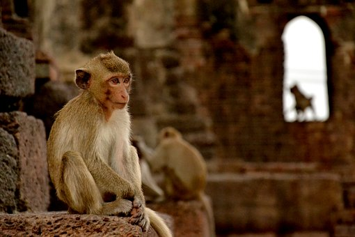 Monkey, Lopburi, Thailand, Macaque, Temple