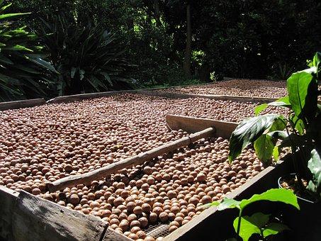 Macadamia Nut, Organic, Harvest, Nuts, Drying
