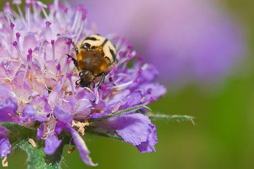 Brush Beetle, Beetle, Blossom, Bloom, Close Up, Macro
