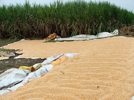 Maize, Corn, Harvested, Grains, Drying, Sundrying