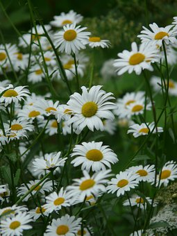 Marguerite, Meadows Margerite, Meadow Margerite
