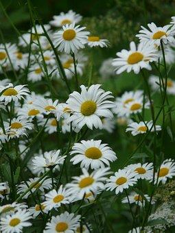 Marguerite, Meadows Margerite, Meadow Margerite