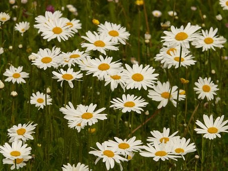 Meadows Margerite, Meadow Margerite, Paid Feverfew