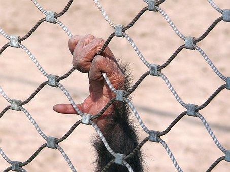 Monkey, Chimpanzee, Bondage, Fencing, Prison