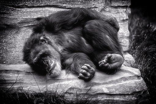 Monkey, Chimpanse, Rest, Relax, Africa, Black White