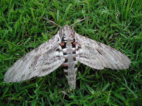Moth, Motte, Wing, Furry, Butterfly, Insect