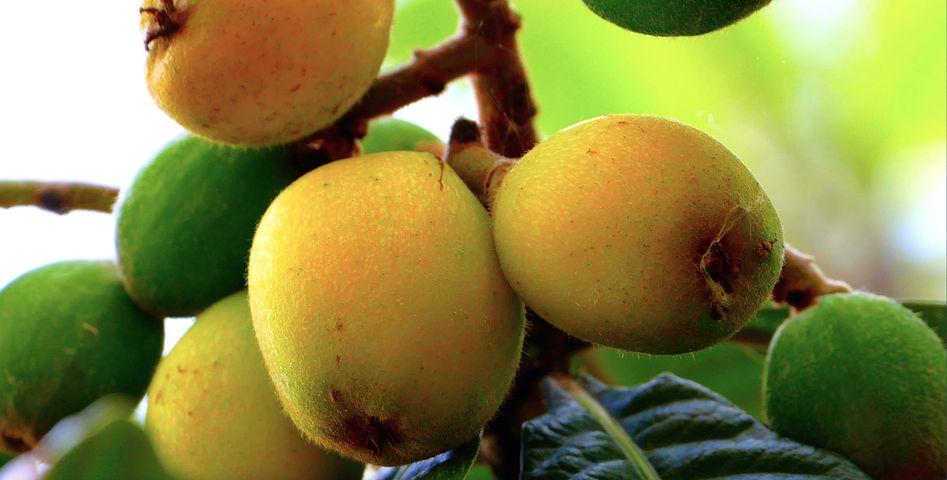 Loquats, Sicily, Nature, Fruit