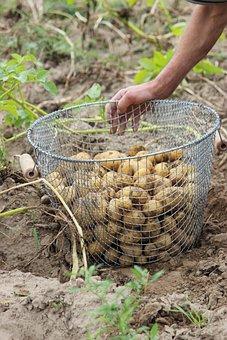 Bio, Potato, Harvest, Basket, Nature, Bauer, Schulz