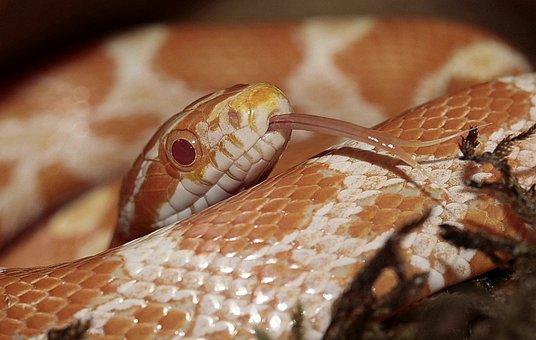 Corn Snake, Pantherophis Guttatusschlange, Snake