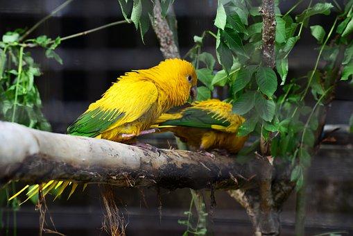 Golden Conure, Parrots, Queen Of Bavaria Conure, Pair