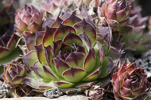 Succulents, Rock Garden, Exotic, Structure, Plant