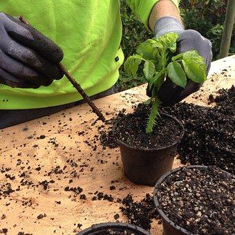 Cuttings, Rose Cuttling, Plant