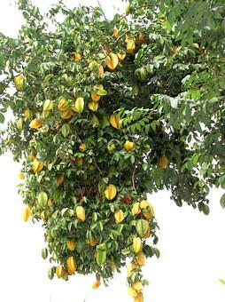 Star Fruit, Tree, Yellow, Fruit, Organic, Nature, Fresh