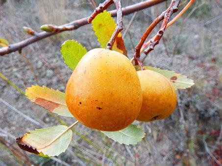 Loquat Winter, Fruit, Tree, Medlar