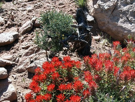 Flower, Indian Paint Brush, Wildflower, Desert, Nature