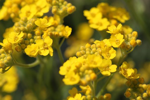 Gold Lacquer, Gold Dust, Stone Herb, Flower, Yellow