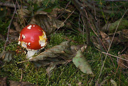 Amanita Muscaria, Fungus, Macro, Toxic, Forest, Nature
