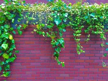Ivy, The Vine, Fence, Wall, Aoyama, Minami-aoyama
