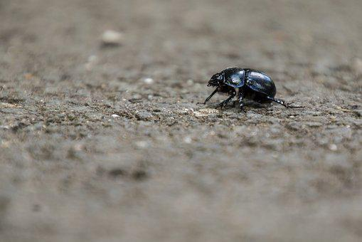 Beetle, Insect, Dung Beetle, Forest, Aphid, Scarab