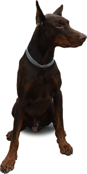 Isolated, Dog, Doberman, Animal, Pet, Black, Purebred