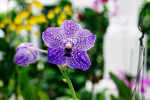 Orchids, Purple, Flowers, Blossoms, Blue, Violet