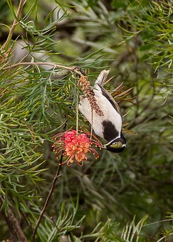 Blue Faced Honeyeater, Bird, Young, Feeding